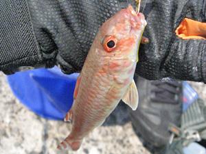 投げ釣りで釣れる魚の写真