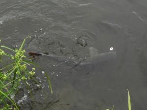 多摩川にて鯉ゲット!