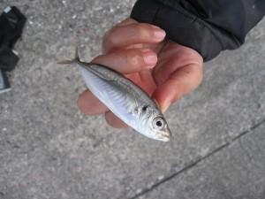 豆アジも青イソメで釣る