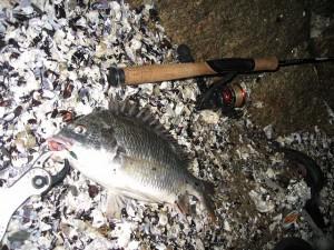 ルアーでのキビレの釣果画像