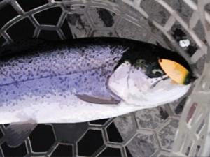 にんじんカラーのスプーンで釣ったニジマス画像