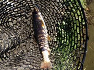 ミノーで釣った大型のイワナ画像