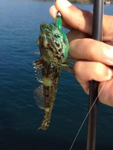 ダボハゼは簡単に釣れるファイター