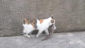 エソを連れ去れる猫