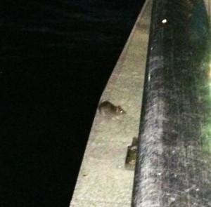 ドブネズミ