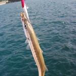 カマスという魚の釣り方