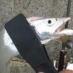 沖堤のタチウオを釣りに行ってきた!
