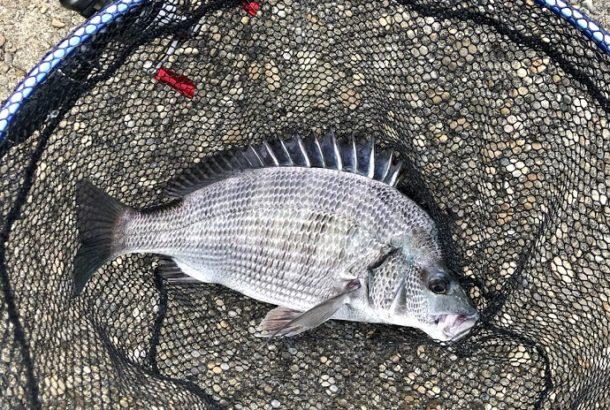 美しい魚体のクロダイ