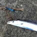 朝マズメ時合短期決戦にてサゴシ・太刀魚を捕獲セリ!