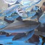 海でのアラバマリグの有効性