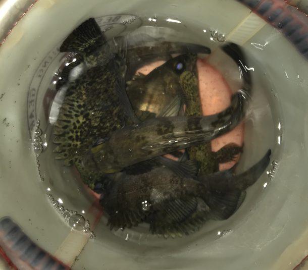 バケツに入った魚