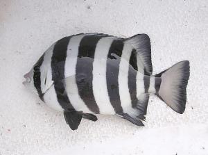 石鯛イメージ