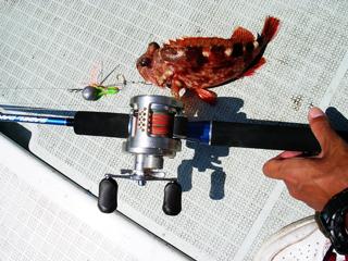 タイラバで釣ったガシラ
