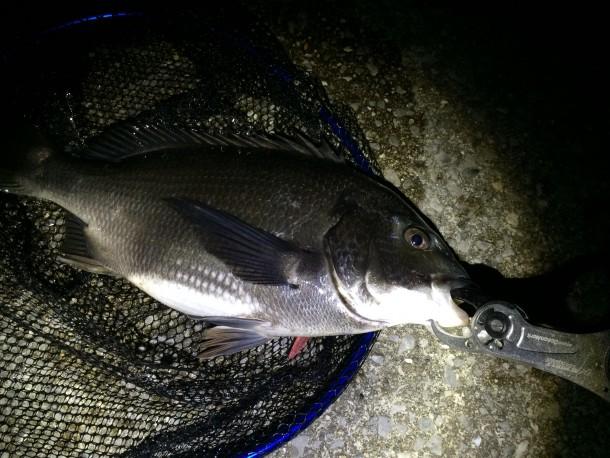 夜釣りで釣った黒鯛