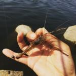 テナガエビの釣り方