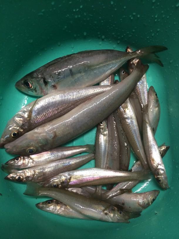 深日漁港の釣果
