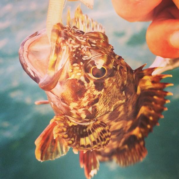 長田港で釣れたガッシー