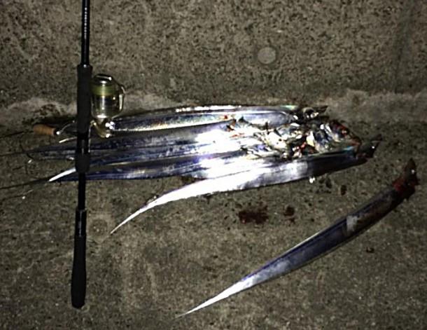 タチウオ大漁画像