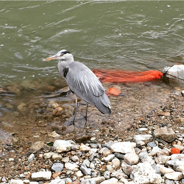 ニジマスを狙う鳥