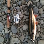 多摩川にて春の風物詩を釣る