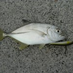 メッキの釣り方