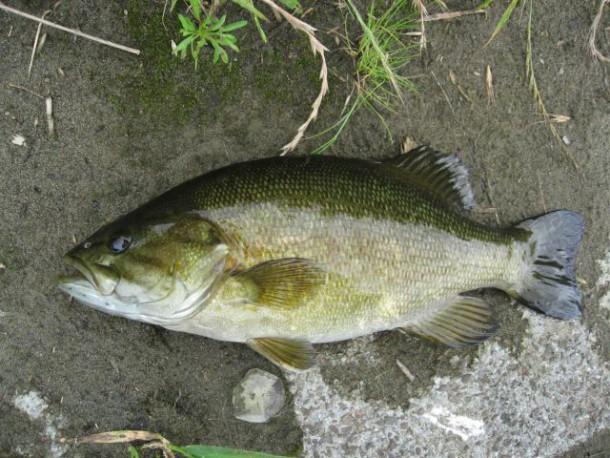 外来魚イメージ