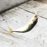神戸空港で釣りをしに行ってみた