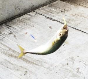 サビキで釣ったサバ