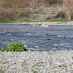 スモールマウスバスを求めて多摩川を遡る